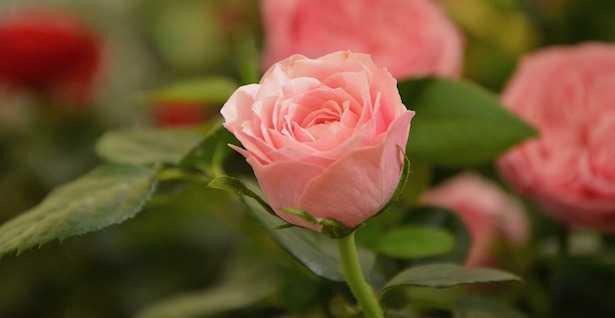malattie delle rose rimedi