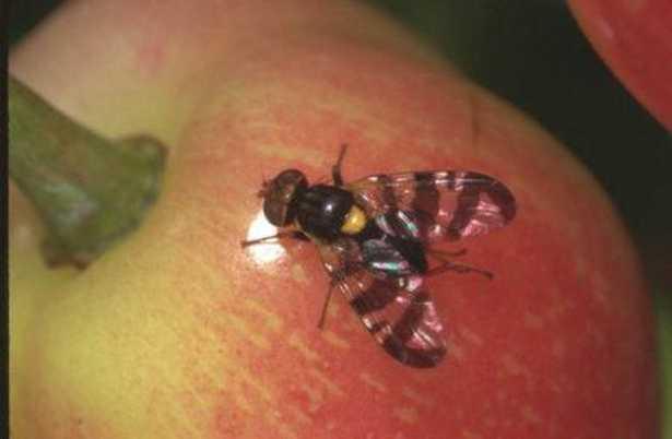 mosca-delle-cicliegie