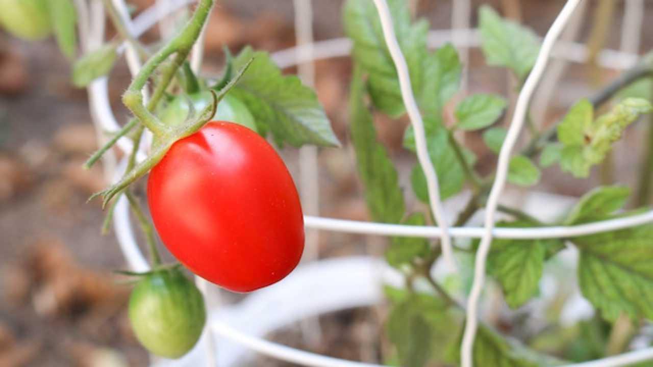 Come Coltivare Pomodori Sul Balcone come piantare il pomodoro - idee green