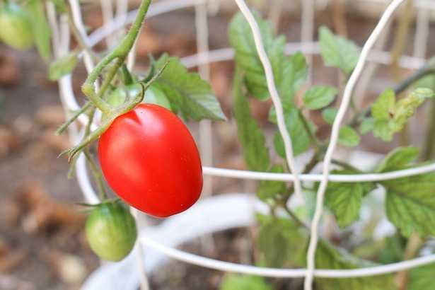 Come piantare il pomodoro idee green for Piantare pomodori