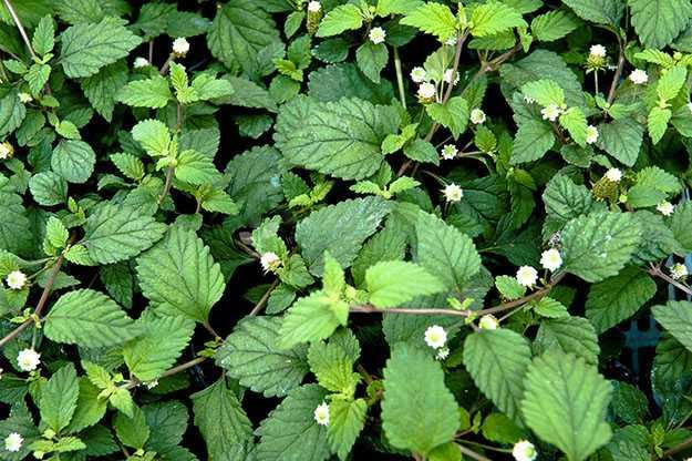 Lippia dulcis pianta dolcificante