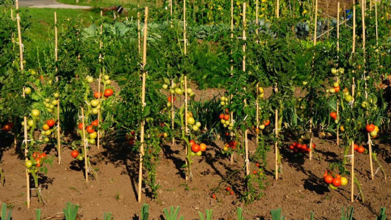 Sostegni Per Pomodori In Vaso pali di sostegno per pomodori - idee green