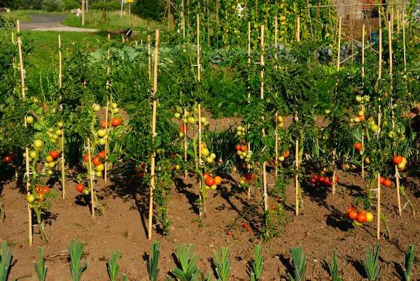 Pali di sostegno per pomodori idee green for Piantare pomodori