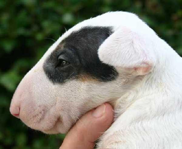 Bull terrier muso