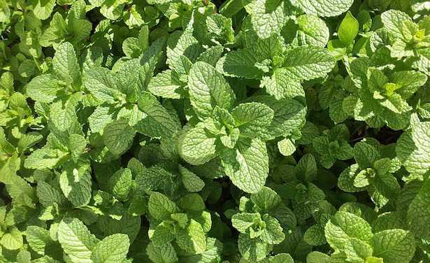 coltivare aromatiche in orto