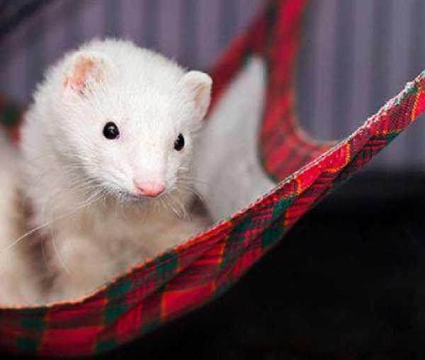 furetto albino