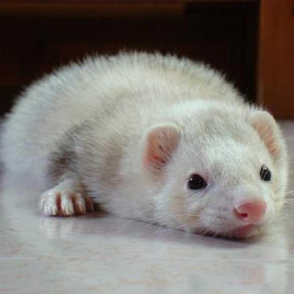 furetto albino2