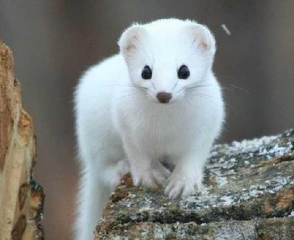 furetto albino4