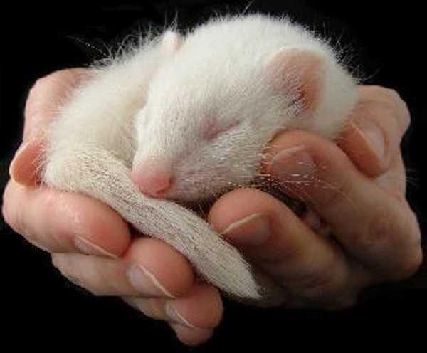 furetto albino6