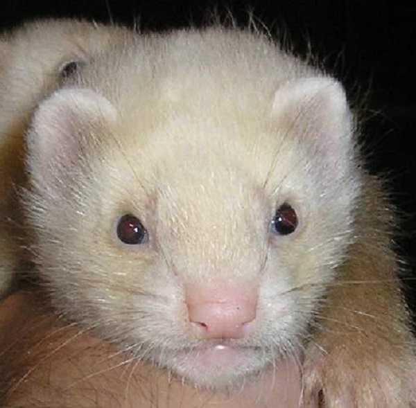 furetto albino7