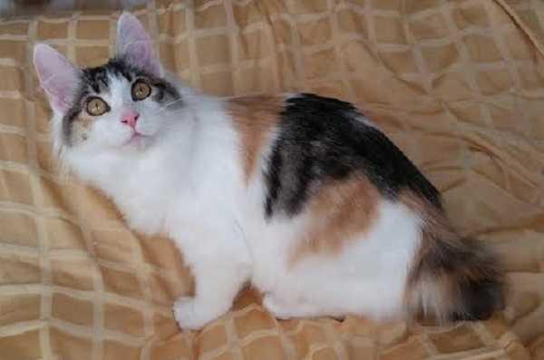 gatto bobtail giapponese3