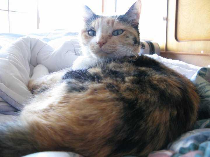 gatto bobtail giapponese6