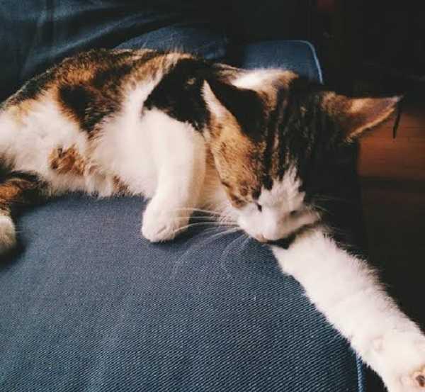 gatto bobtail giapponese8