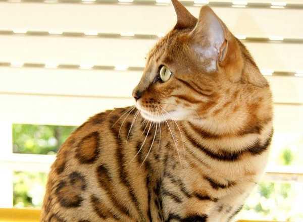 gatto del bengala primo piano