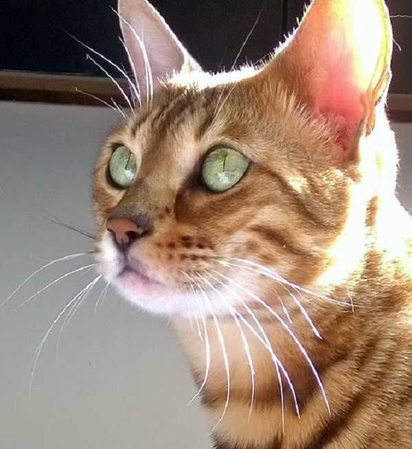 gatto del bengala3