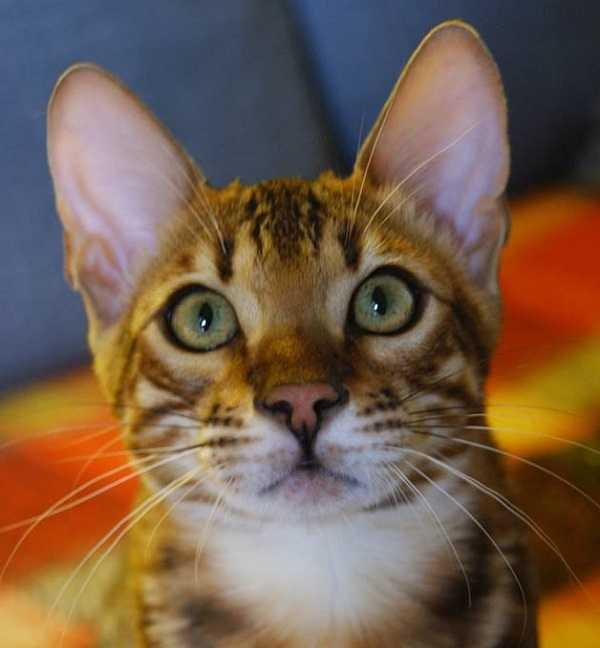 gatto del bengala muso