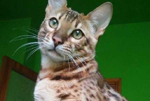 gatto del bengala occhi