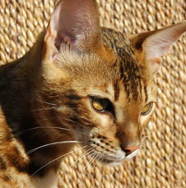 gatto del bengala6