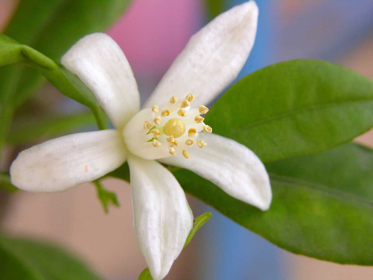fiore di mandarino cinese