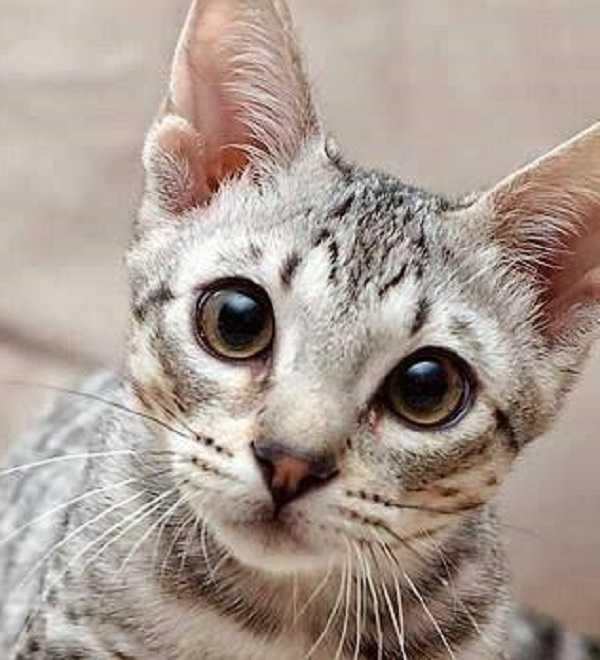 otite nel gatto 5