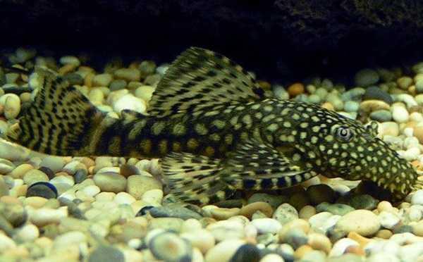 Pesce pulitore per l 39 acquario idee green for Pesce pulitore acqua dolce