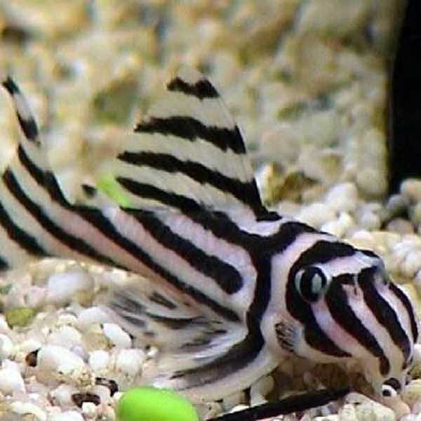 Pesce pulitore per l 39 acquario idee green for Pesci per acquario piccolo