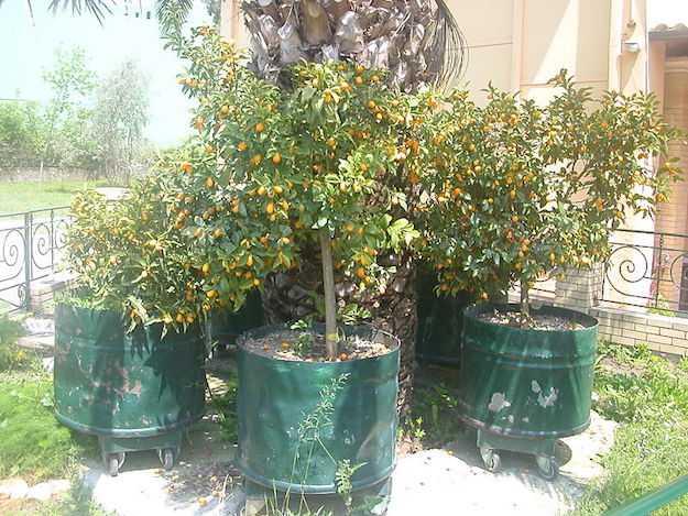 rinvaso kumqua mandarino cinese