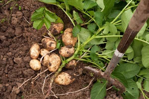Tutto sulla coltivazione delle patate idee green for Raccolta patate