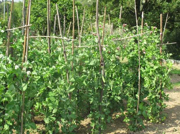 Come coltivare la lenticchia idee green for Piantare piselli