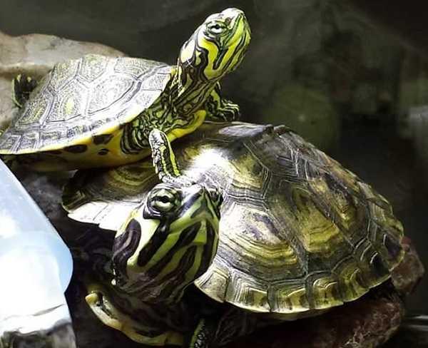Cosa mangiano le tartarughe d 39 acqua dolce idee green for Temperatura tartarughe