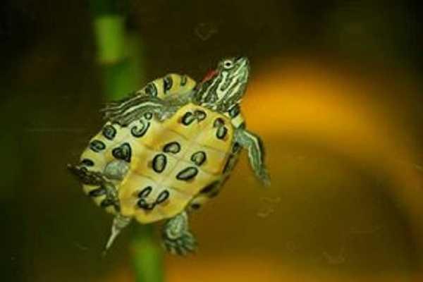 Cosa mangiano le tartarughe d 39 acqua dolce idee green for Cibo tartarughe acqua