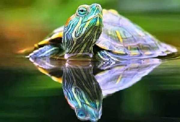 Cosa mangiano le tartarughe d 39 acqua dolce idee green for Lago per tartarughe