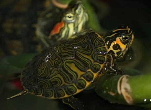 Cosa mangiano le tartarughe d 39 acqua dolce idee green for Tartarughe di acqua dolce