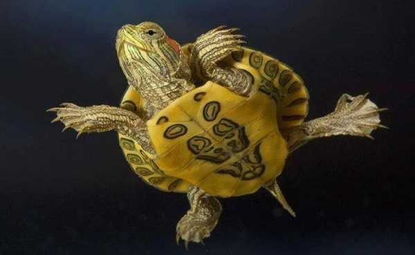 cosa mangiano tartarughe5