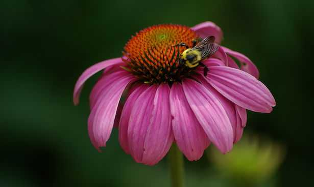 echinacea con ape