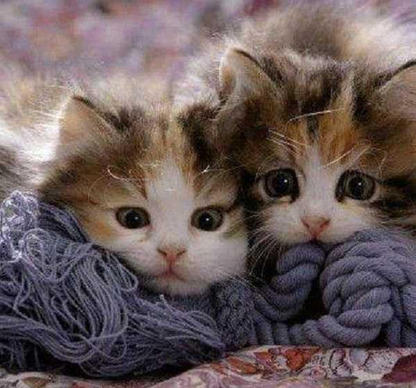 febbre nel gatto3