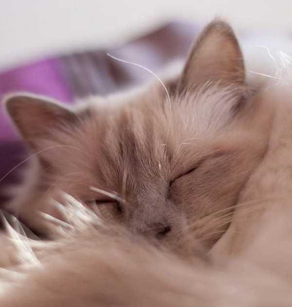 febbre nel gatto4