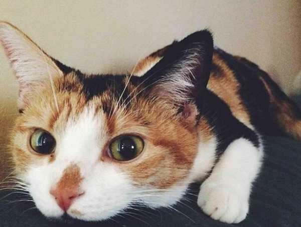 febbre nel gatto5
