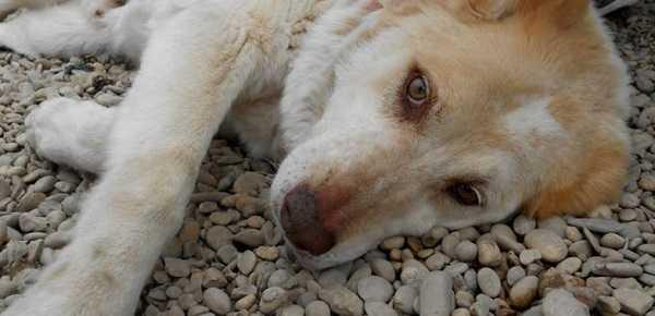 filariosi cane
