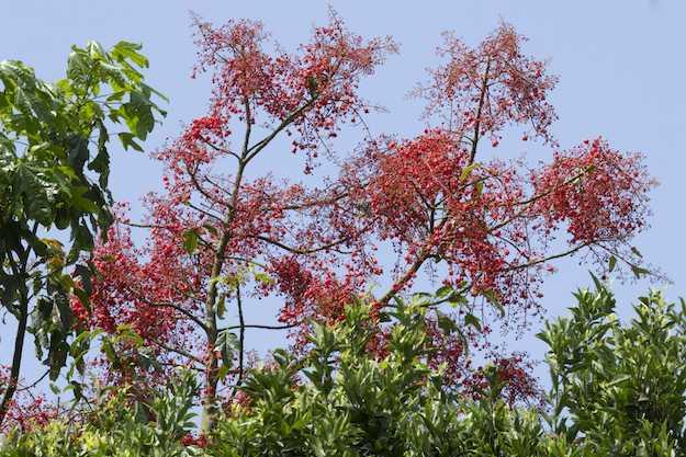 fiori Chorisia speciosa
