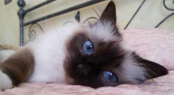 gatto birmania3