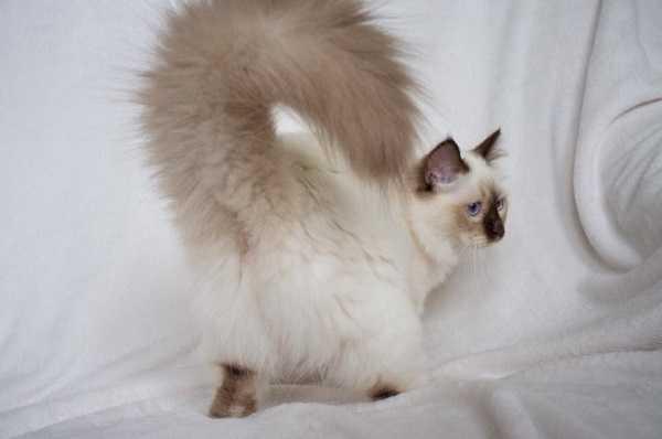 gatto birmania4