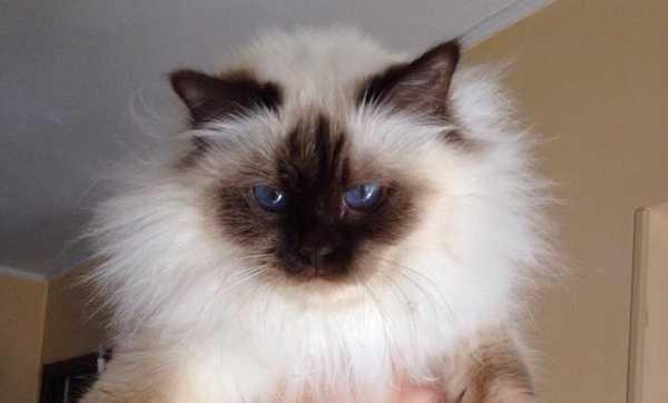 gatto birmania5
