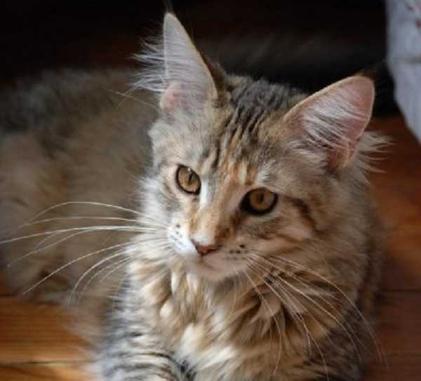 gatto main coon