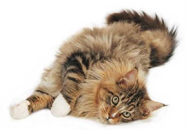 gatto main coon5