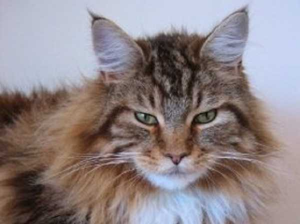 gatto main coon7