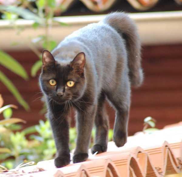 Peloso nero adolescenza micio