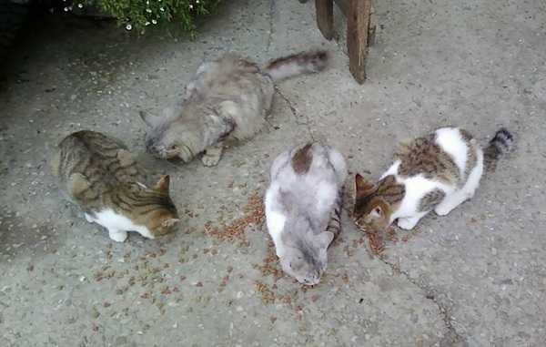 gatto maschio femmina4