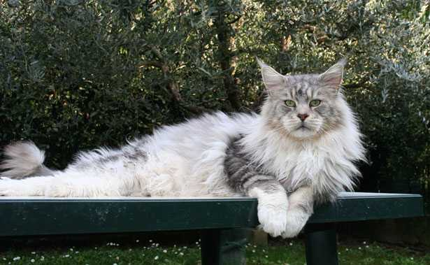 maine coon planetcoon