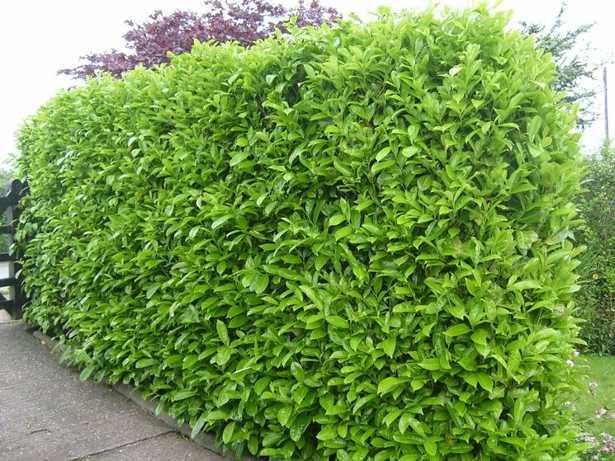 Quando piantare una siepe idee green for Siepe di alloro